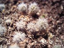 Der-Kaktus de - Kakteen Shop - Vermehrung